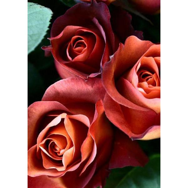 Роза чайно-гибридная Кофе брейк