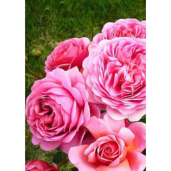 Роза шраб Принцесса Александра