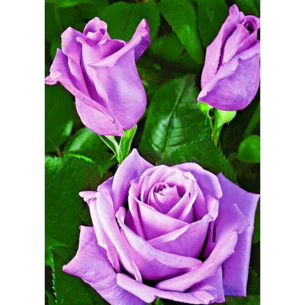 Роза чайно-гибридная Бархатная ночь