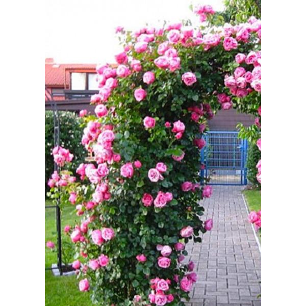 Роза плетистая Сердце розы