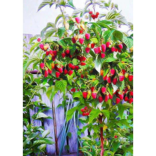 Малина (малиновое дерево) Таруса